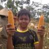 Panen Jagung Dari Benih Hibrida BISI-222 dan Pertiwi 3