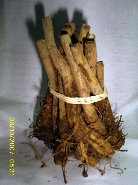 Bibit Pohon Jati yang besar dipangkas batang dan juga Akar nya