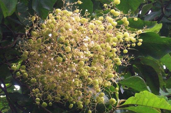 bunga-jati