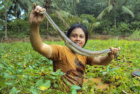 Berburu Belut Dengan Alat Strum Ikan