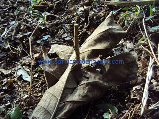 """Menanam Bibit Kayu Jati Alami """" Setelah Ditanam Bibit Jati ditutup daun jika kita menanam dalam musim kemarau"""""""