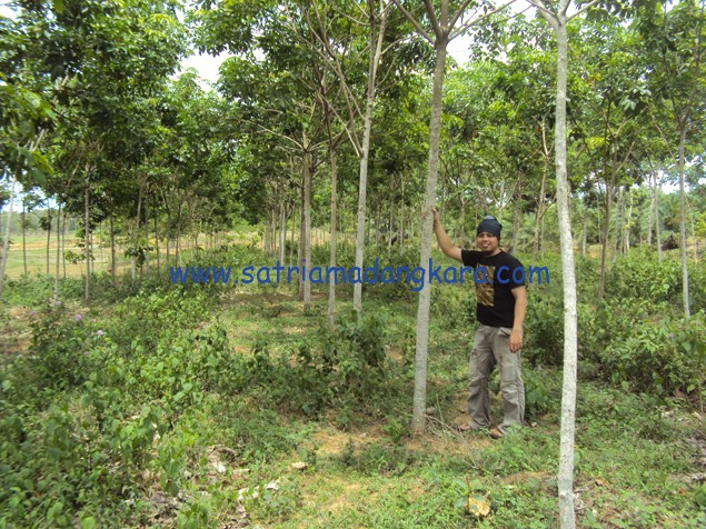 Harga Kebun Karet Siap Panen Per Hektar