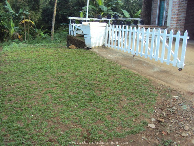Cara Budidayakan Rumput Gajah Sendiri
