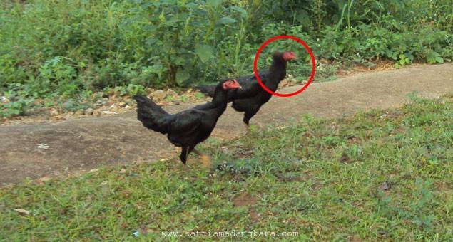 Marah pada Ayam dan 2 Kali Berencana Menyantapnya