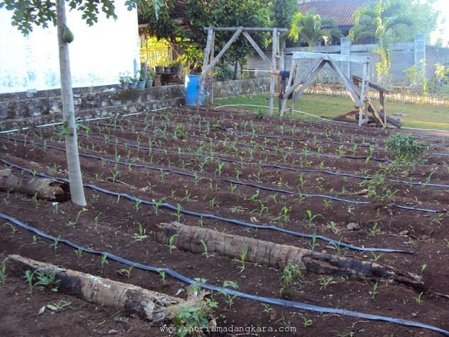 Cara Mengolah Tanah untuk Tanaman Jagung Manis