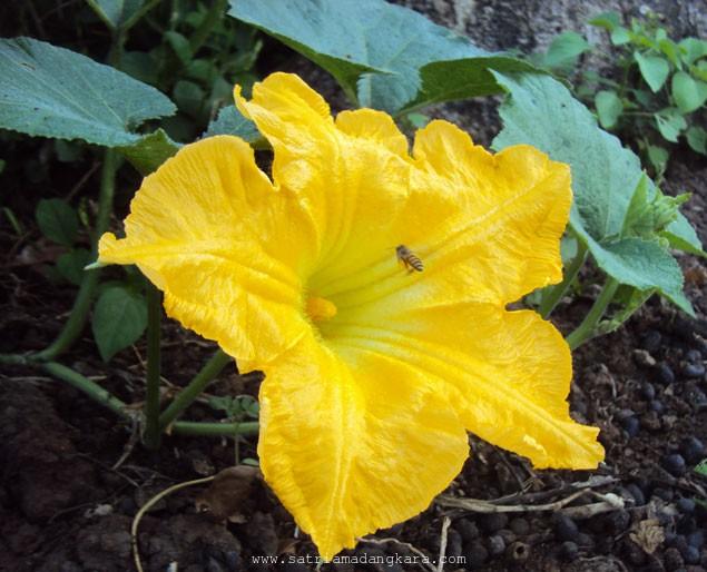 Cara Budidaya Labu Kuning sebagai Tanaman Sampingan