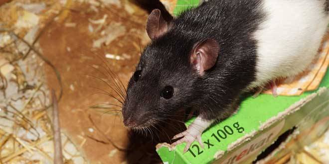 Jenis Musik Pengusir Tikus
