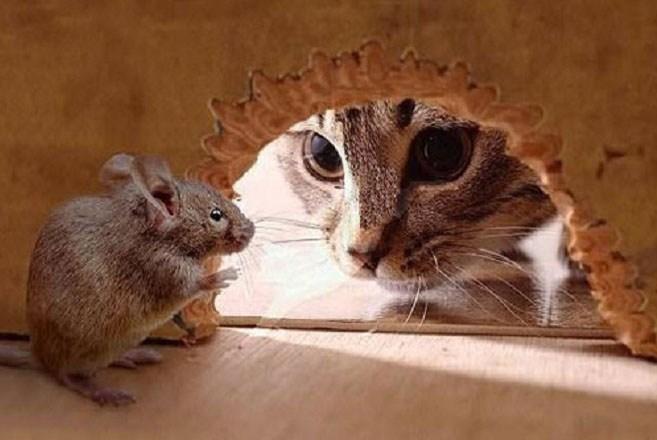 Memilih Obat Alami Pengusir Tikus