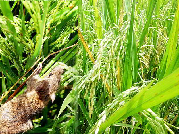 Tips Mengusir Tikus di Sawah