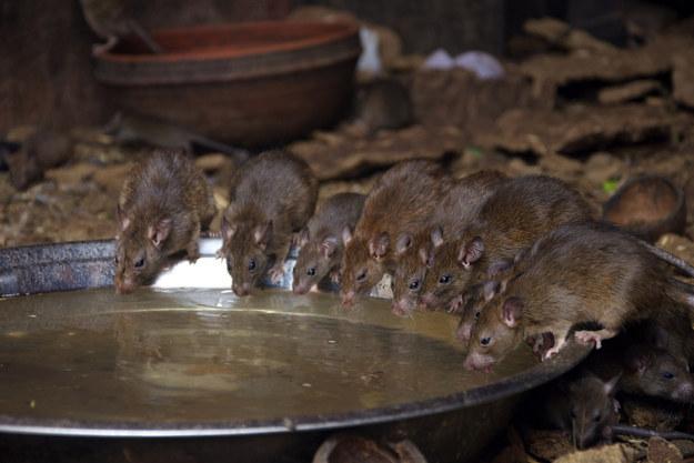 Begini Cara Mengusir Tikus Got