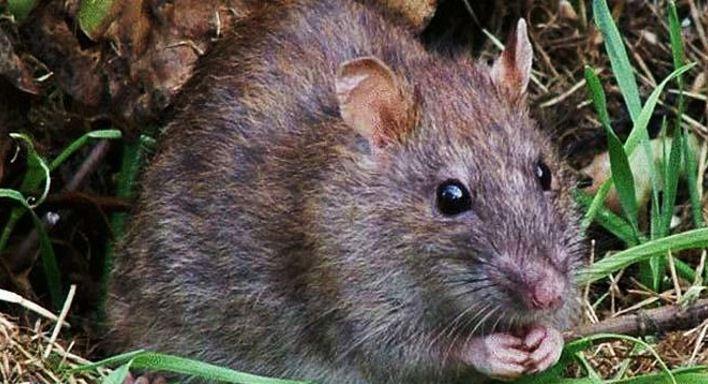 Cara Mudah Basmi Tikus Curut Yang Ada Di Rumah