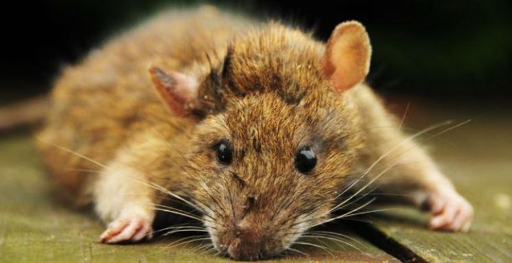 Cara Tradisonal Mengusir Tikus Rumahan Yang Aman