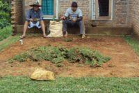 Cara Menyiapkan Bibit Rumput Gajah Siap Tanam