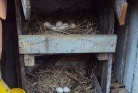 Pengalaman Budidaya dan Pelihara Ayam