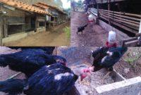 Fakta seputar Kandang Ayam di Lahan Sempit