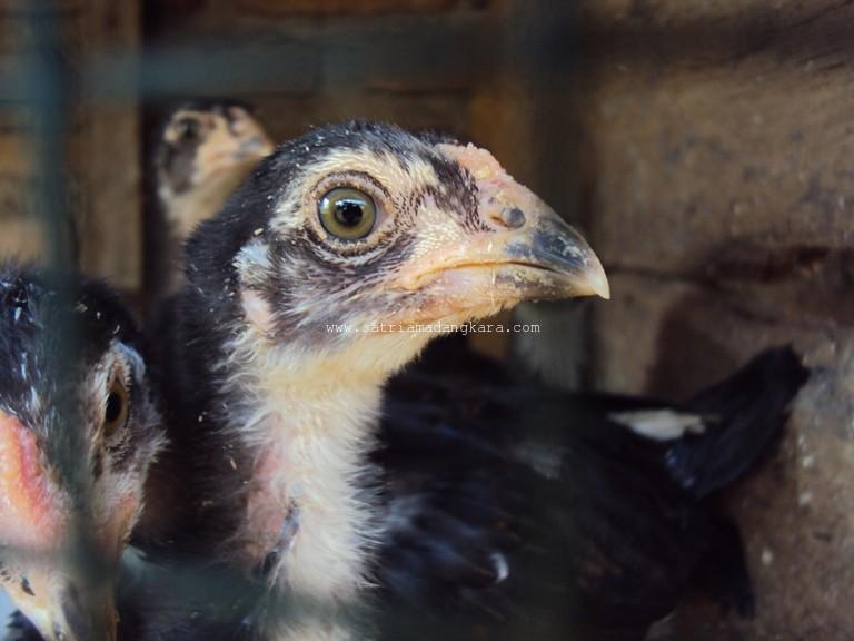 Cara Berternak Ayam Kampung yang Menghasilkan - Pengalaman ...