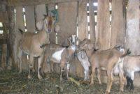 Peluang Usaha sentra Pengembangan Ternak Kambing