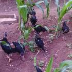 Ayam Merusak Jagung