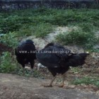 Babon ayam Bangkok
