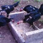Makanan Favorit Ayam