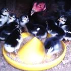 Pakan anak ayam