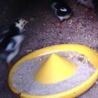 Sisa Makan Ayam