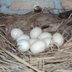 Telor Ayam menetas