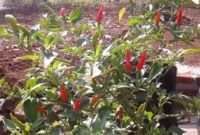 Cara membuat bibit atau benih cabai hibrida
