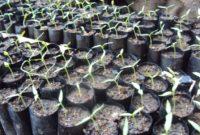Cara merawat bibit atau benih cabai dengan baik