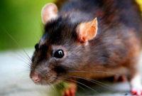 Begini Cara Membuat Tikus Takut