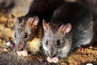 Cara Mudah Mengusir Tikus Yang Ada Di Plafon Rumah