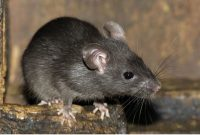 Review Macam-Macam Racun Tikus Yang Mematikan