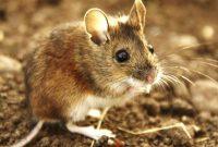 Tempat Jual Alat Pengusir Tikus Paling Efektif