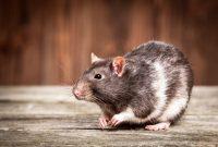 Tips Agar Rumah Bebas Tikus