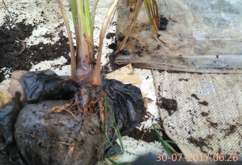 Setelah dibuka Bibit Kelapa Pandan Wangi Thailand yang dibeli ternyata layu/lonyot seperti terkena air panas.