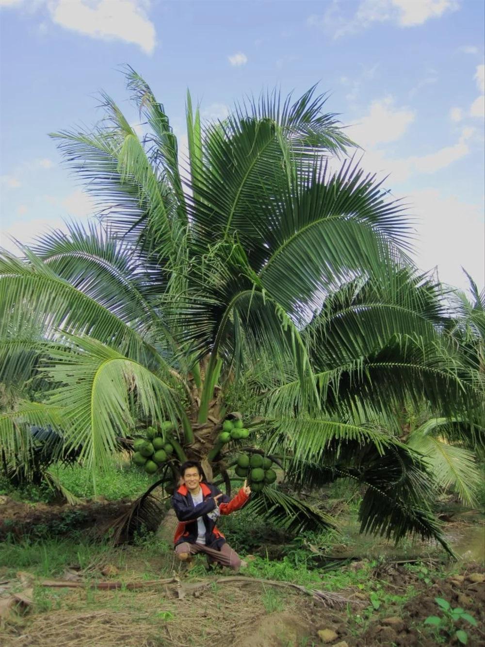 Pohon Kelapa Pandan Wangi yang Sedang Berbuah